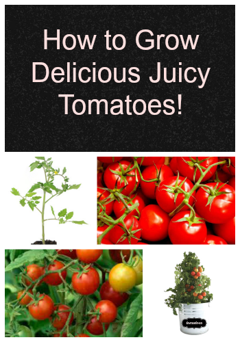 How to Grow Delicious Juicy Tomatoes!