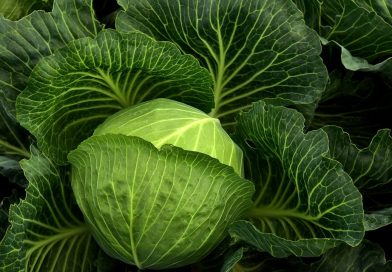 How Profitable is Cabbage Farming?
