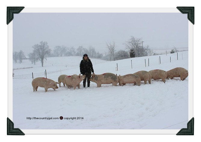 pigs first winter in snow